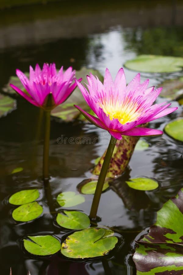 Lótus roxos na libra fotos de stock royalty free
