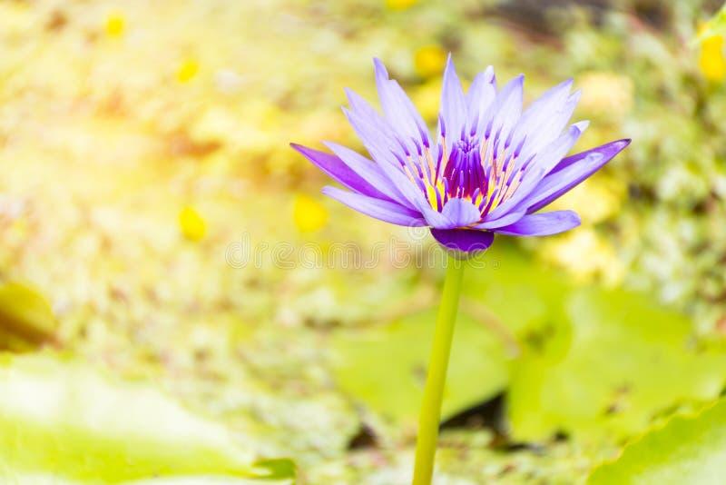 Lótus roxos no fundo e na luz do sol da folha Zumba dentro imagem de stock royalty free