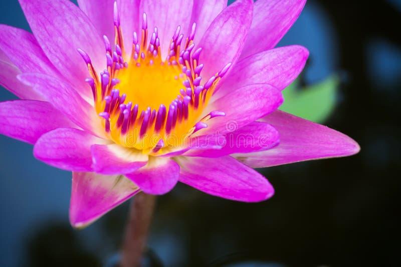 Lótus roxos que florescem em uma libra Planta aquática Flor tropical fotos de stock royalty free