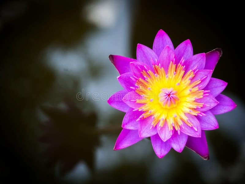 Lótus roxos que florescem em uma libra Planta aquática Flor tropical Vista superior fotografia de stock royalty free