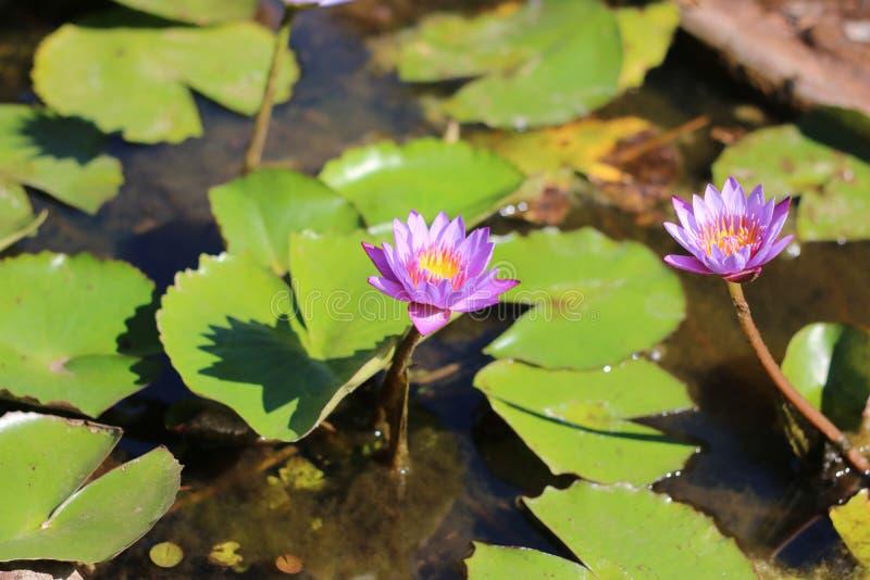 Lótus tailandeses na água imagens de stock royalty free
