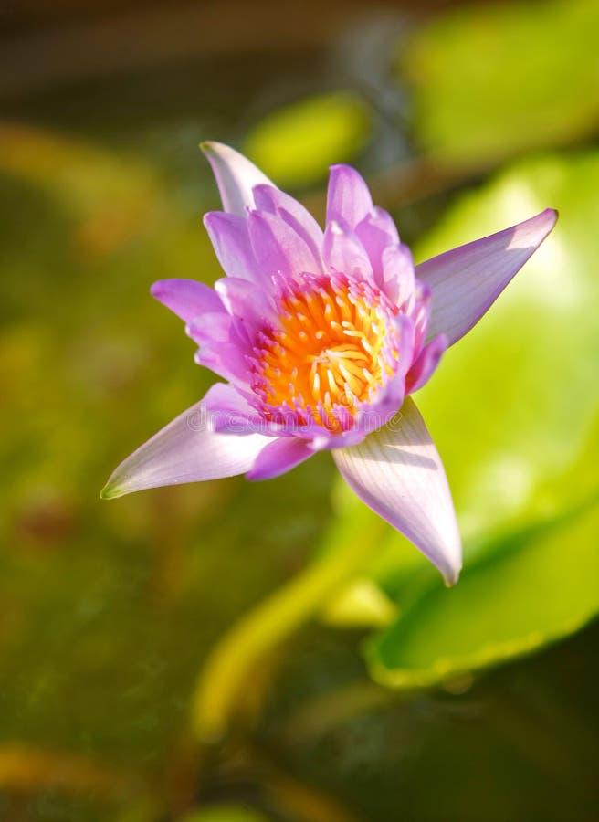 Download Lótus Violetas Na Luz Solar Imagem de Stock - Imagem de ascensão, folha: 29830389