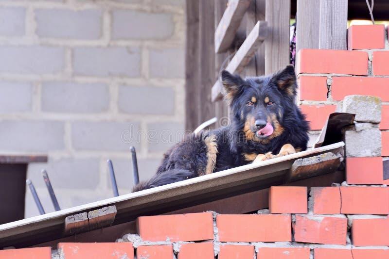 Lögner för en herdehund på taket av en röd tegelsten inhyser och blickar framme av royaltyfri fotografi