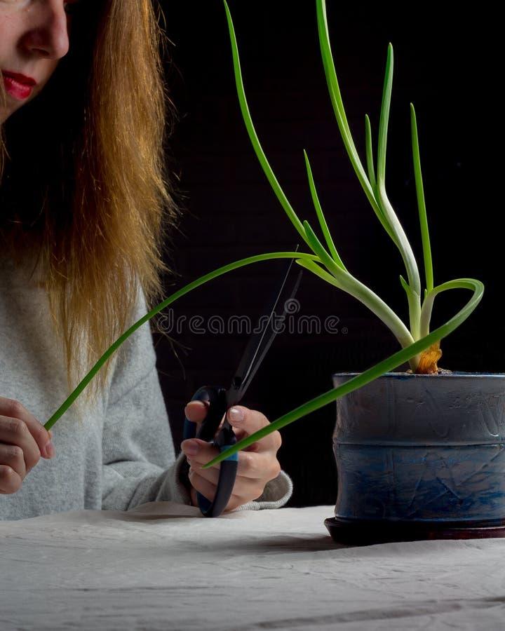 Lök i blomkrukan Handen för den unga kvinnan med sax klipper lökpilbågarna fotografering för bildbyråer