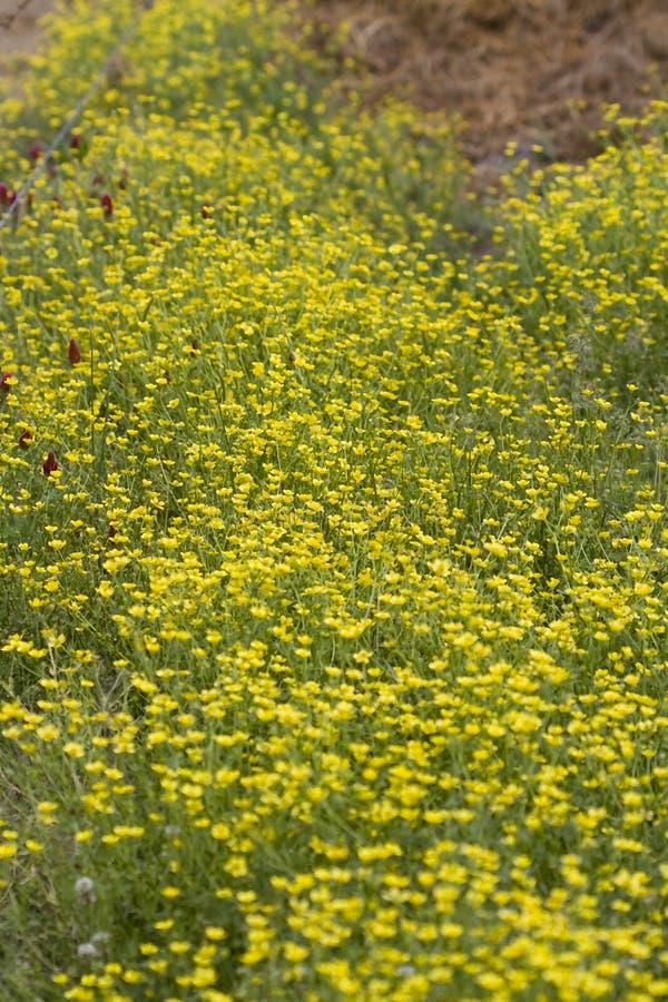 Lökformiga smörblommavildblommor och karmosinröd växt av släktet Trifolium fotografering för bildbyråer