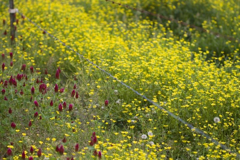 Lökformiga smörblommavildblommor och karmosinröd växt av släktet Trifolium royaltyfri fotografi