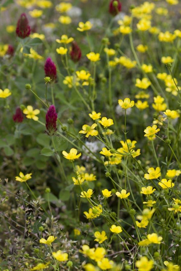 Lökformiga smörblommavildblommor och karmosinröd växt av släktet Trifolium arkivfoton