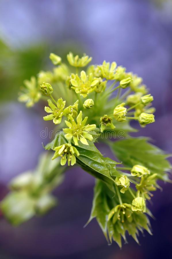 Lönn, blomningar, knoppar och barnsidor i våren, närbild, gräsplanblomningar royaltyfri fotografi