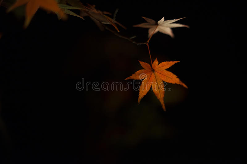 Lönn leaf6 royaltyfri fotografi