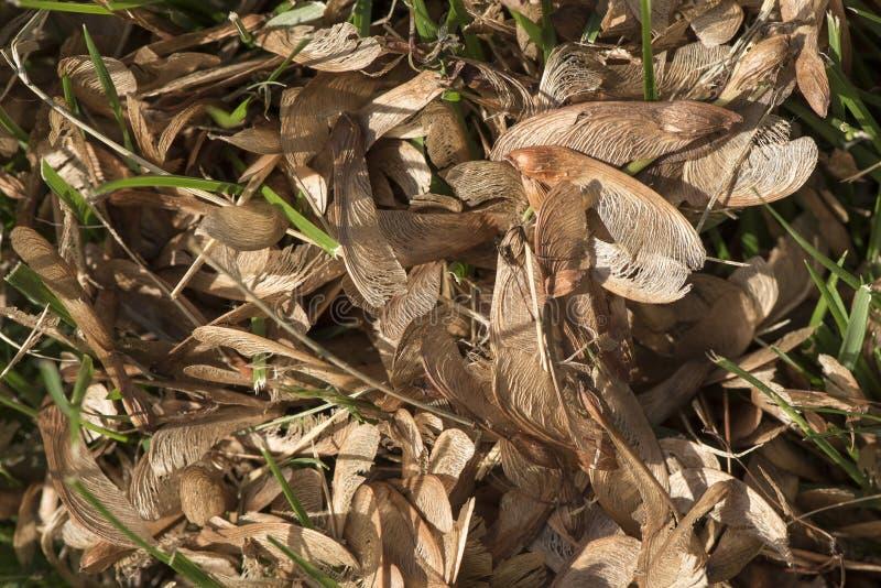 Lönnfrö i gräs royaltyfria bilder