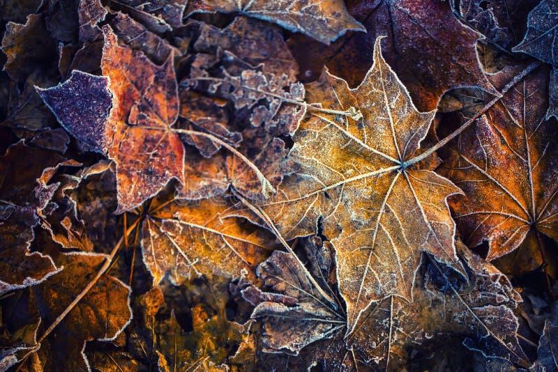 Lönnlöv för is för morgon för djupfryst höstfrost kalla arkivbilder