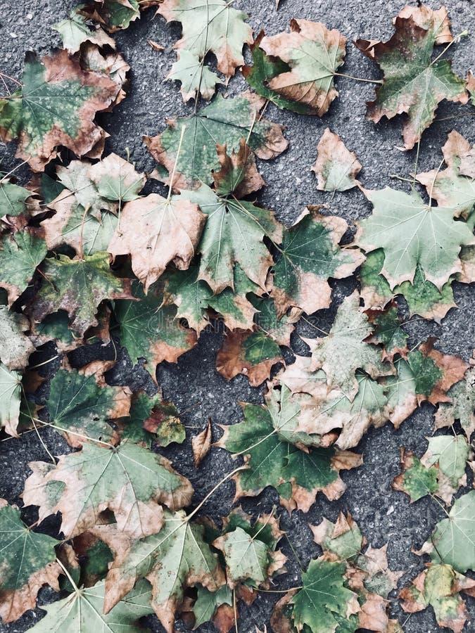 Lönnlöv gräsplan och gulingnedgångfärger arkivfoto