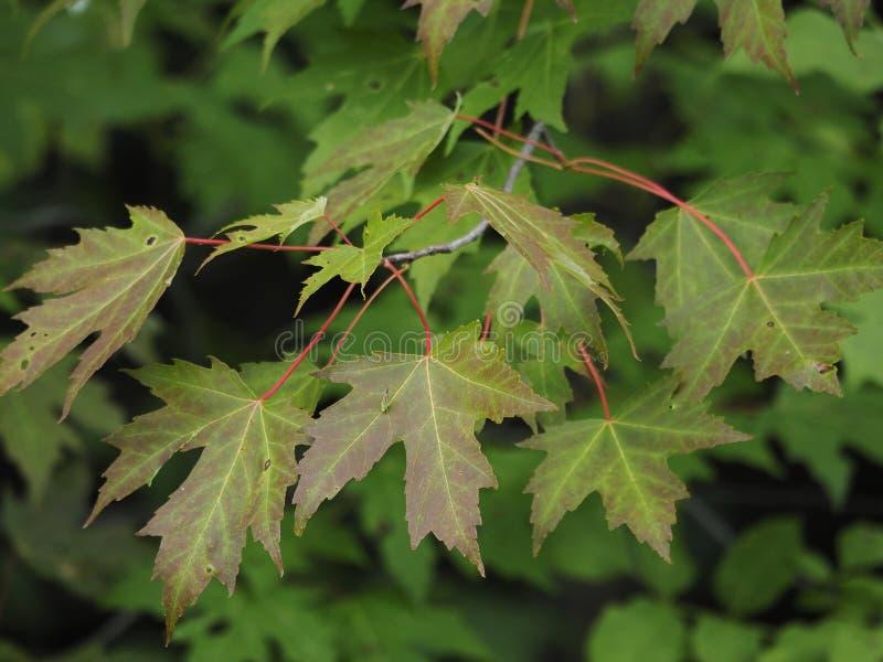 Lönnlöv som börjar att ändra färg i tidig höst effekt f?r 50mm bakgrundsblur aktiverar sidan f?r nattnikkordeltagaren royaltyfri bild