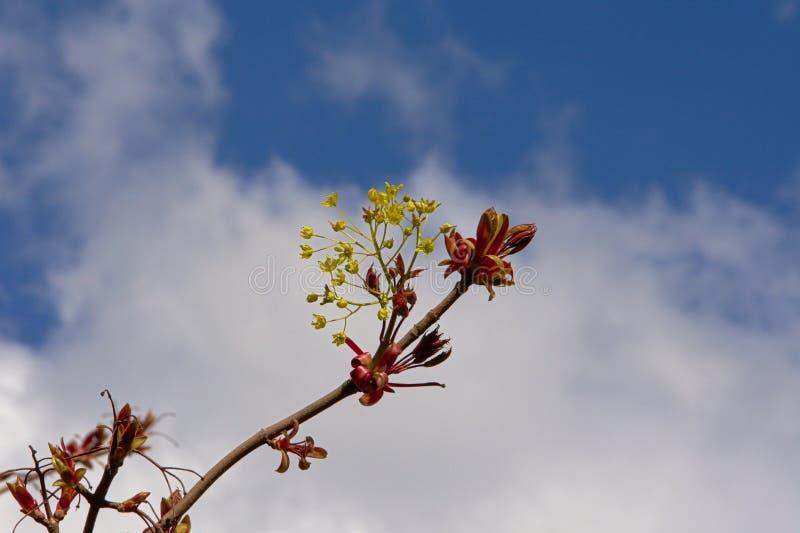 Lönnlövknoppar och blommor - Acer royaltyfri foto