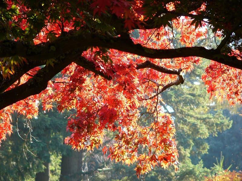 Download Lönnredtree arkivfoto. Bild av brännskada, leafs, livstid - 281000