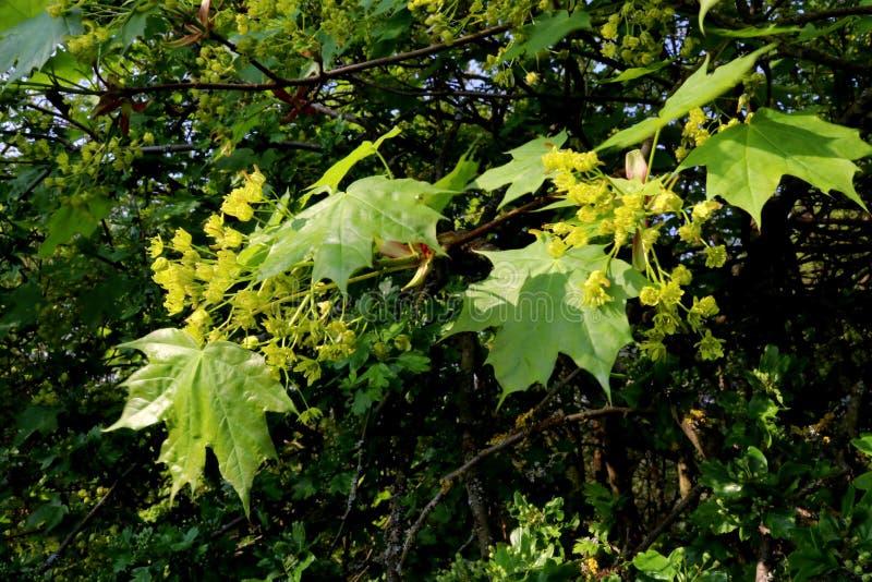 Lönnträd i blomning med mycket små gulingblommor och nya gröna sidor close upp arkivbild