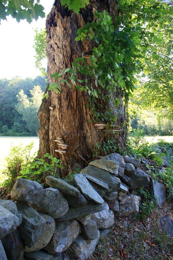 Lönnträd med champinjoner och en stenvägg royaltyfri foto