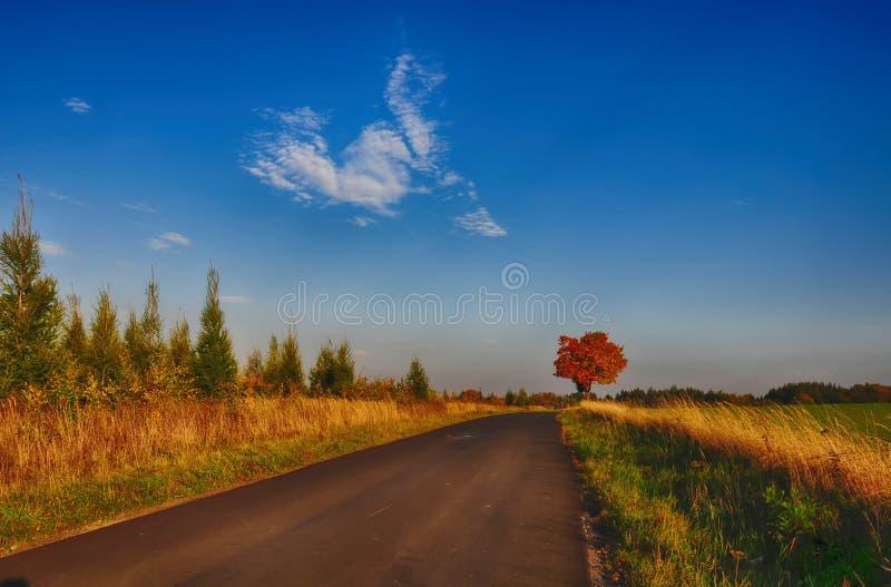 Lönnträd med färgade blad längs asfaltvägen på hösten/nedgångdagsljus fotografering för bildbyråer