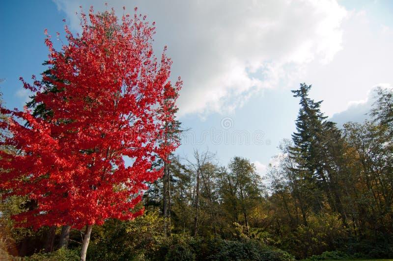 Lönnträd med främst rad för röda sidor av träd med gröna sidor royaltyfri bild