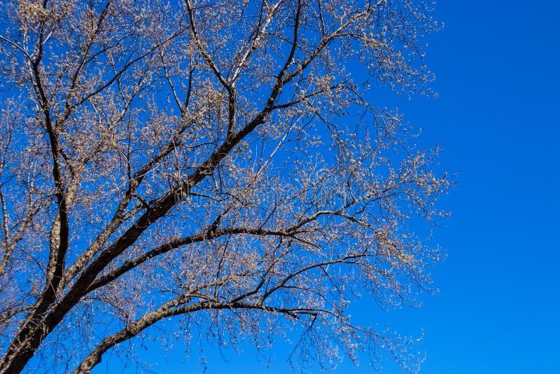 Lönnträd som börjar att slå ut under våren arkivfoto