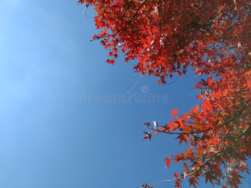 Lönnträdet är i Japan royaltyfria bilder