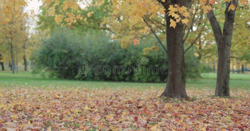 Lönnträdet parkerar in långsamt att utgjuta sidor royaltyfri foto