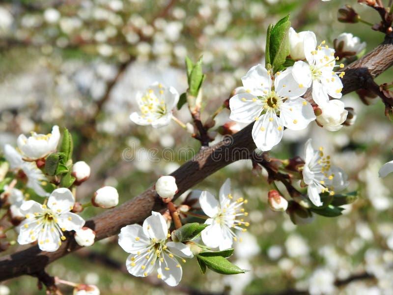 Lönnträdfilial med vita blommor, Litauen royaltyfria bilder
