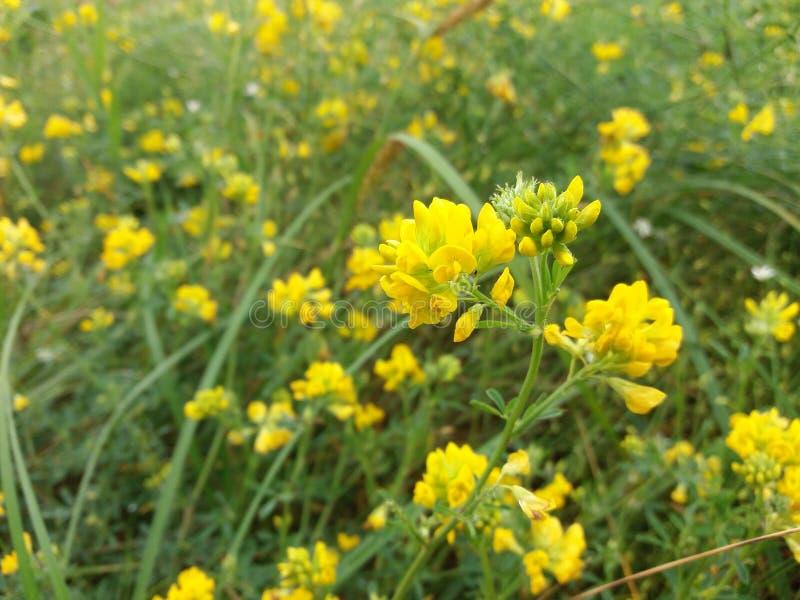Lös äng mycket av gul medick eller burclover arkivbild