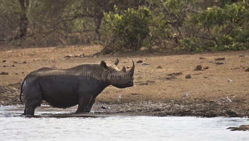 Lös afrikansk svart noshörning som korsar floden, kruger, ZA arkivfoton