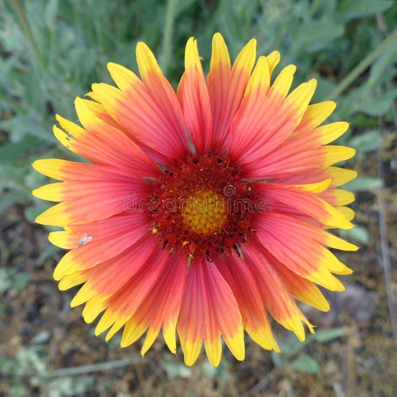 Lös anemon - clouseup