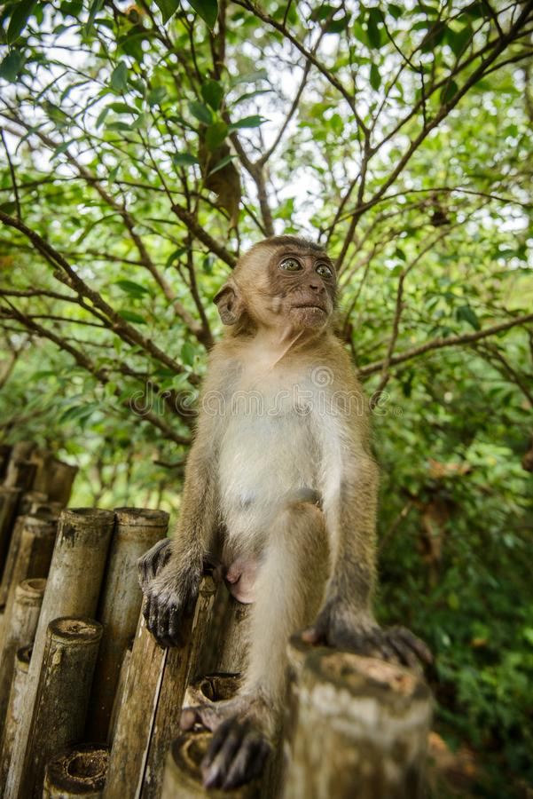 Lös apa från djungeln, Krabi, Thailand arkivfoto