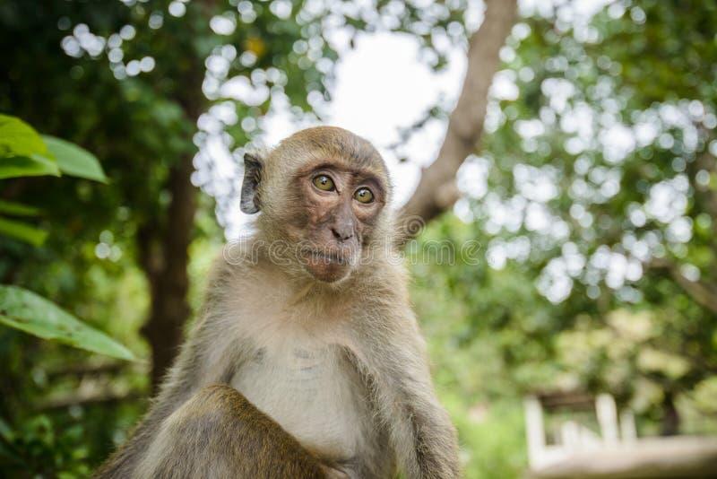 Lös apa från djungeln, Krabi, Thailand arkivbild