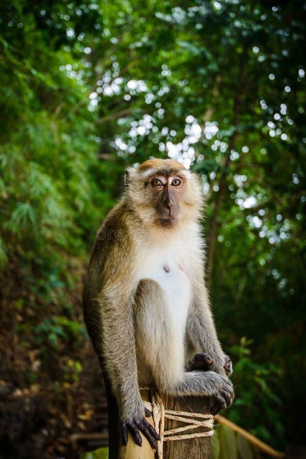 Lös apa från djungeln, Krabi, Thailand royaltyfria bilder