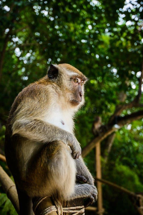 Lös apa från djungeln, Krabi, Thailand royaltyfri bild