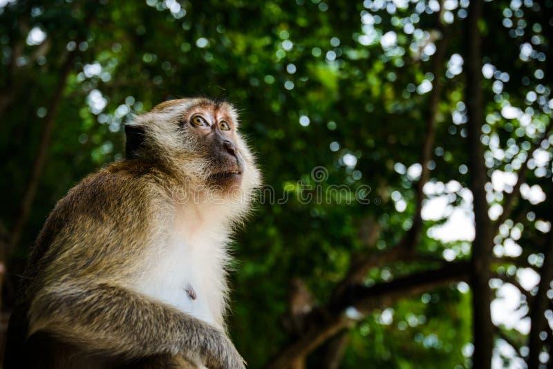 Lös apa från djungeln, Krabi, Thailand royaltyfria foton