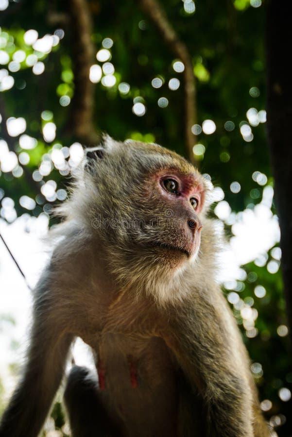 Lös apa från djungeln, Krabi, Thailand fotografering för bildbyråer