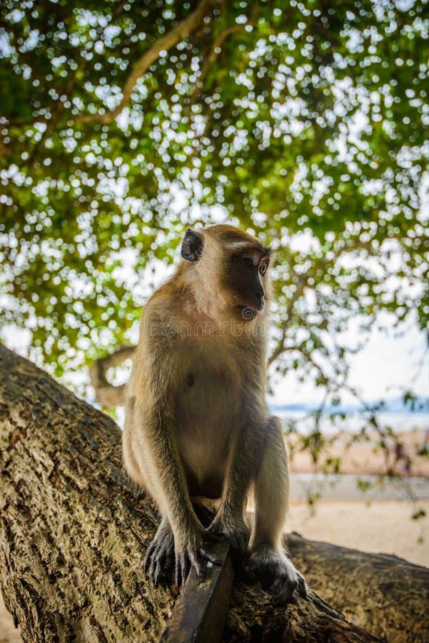 Lös apa från djungeln, Krabi, Thailand royaltyfri foto