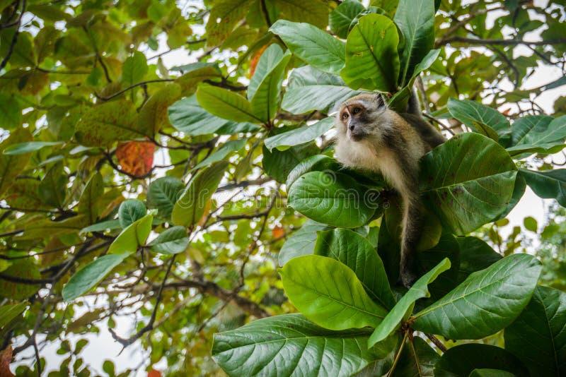 Lös apa från djungeln, Krabi, Thailand arkivbilder