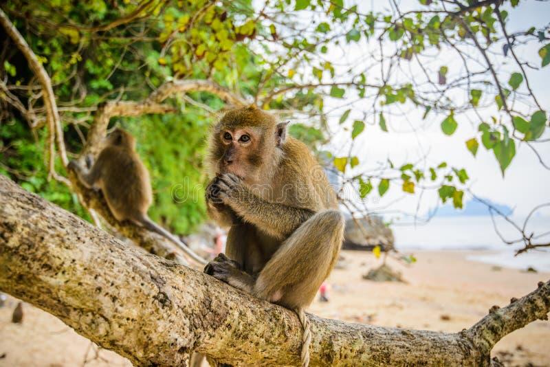 Lös apa från djungeln, Krabi, Thailand royaltyfri fotografi