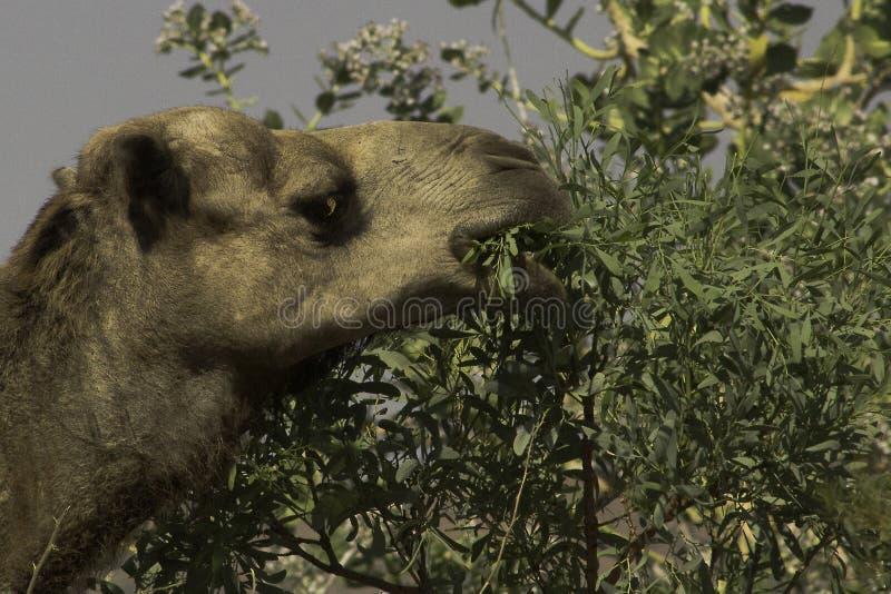Lös australisk kamel med en lång ramsa av gummisidor royaltyfria bilder
