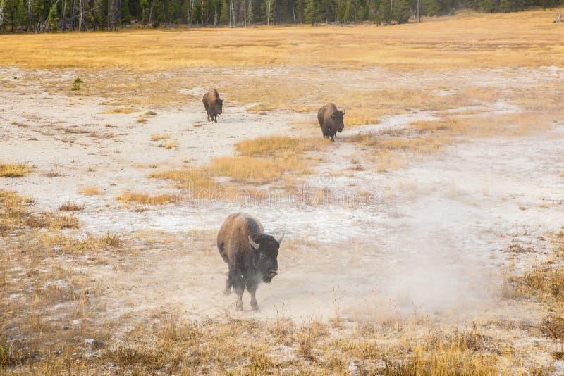 Lös bison i den Yellowstone nationalparken arkivfoto