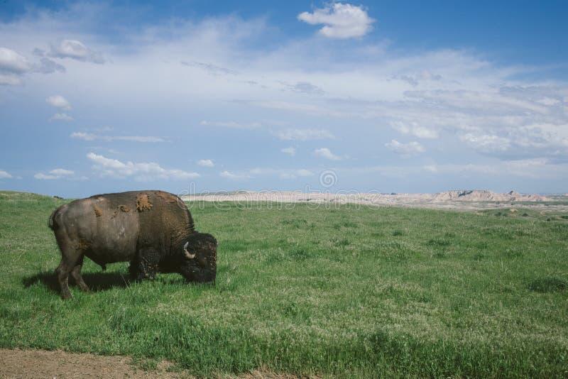 Lös bison som betar gräset i Badlands nationalpark, South Dakota fotografering för bildbyråer