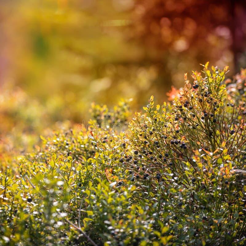Lös blåbärbuske Drömlika lösa blåbär stänger sig upp på en solig dag med linssignalljuset och bokeh arkivbild