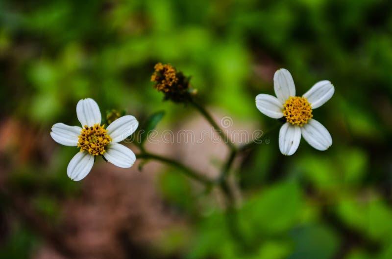 Lös blomma av kullen royaltyfri fotografi