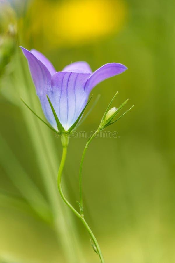 Lös blomma för blåklocka arkivbilder