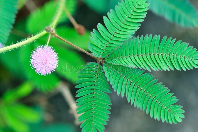 Lös blomma för Pudica mimosa royaltyfri bild
