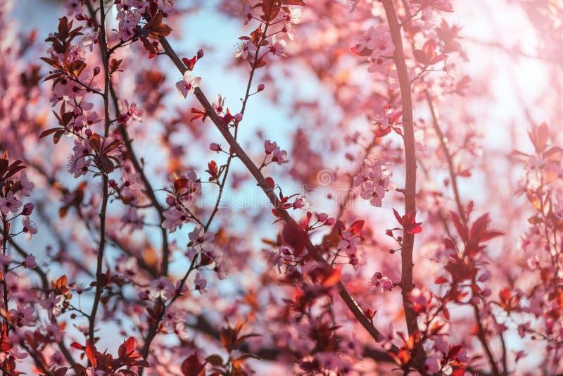 Lös blomning för körsbärsrött träd i vårmorgon royaltyfri foto