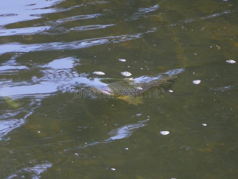 Lös brun forell/Salmotrutta som tar en fluga i floden royaltyfria foton