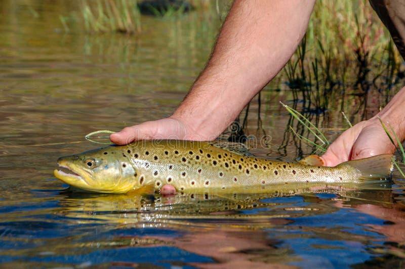 Lös brun forell som fångas och som är utsläppt på den Owyhee floden, Oregon royaltyfria foton