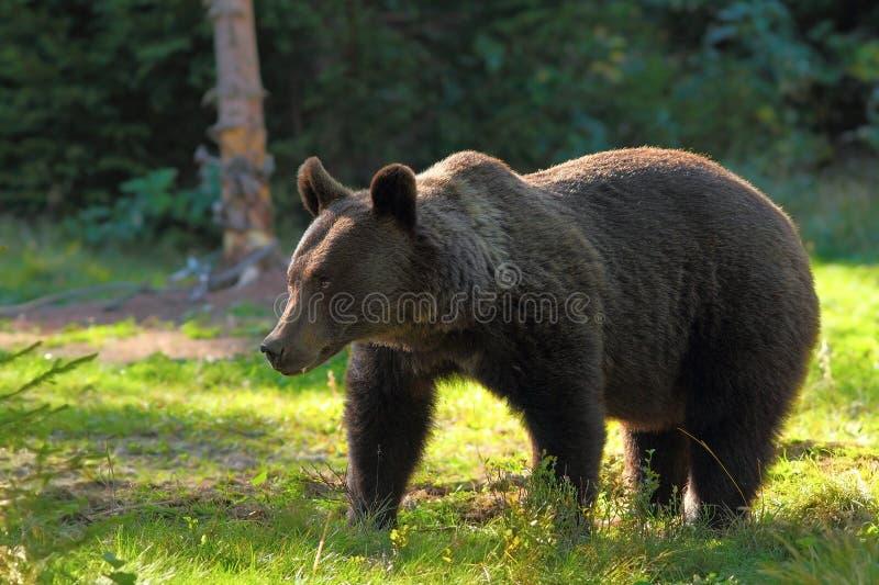 Lös brunbjörn i röjning royaltyfri bild
